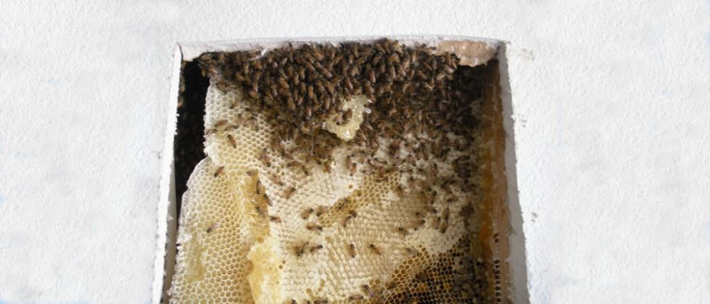 BeesBehindDrywall-1024x439.jpg